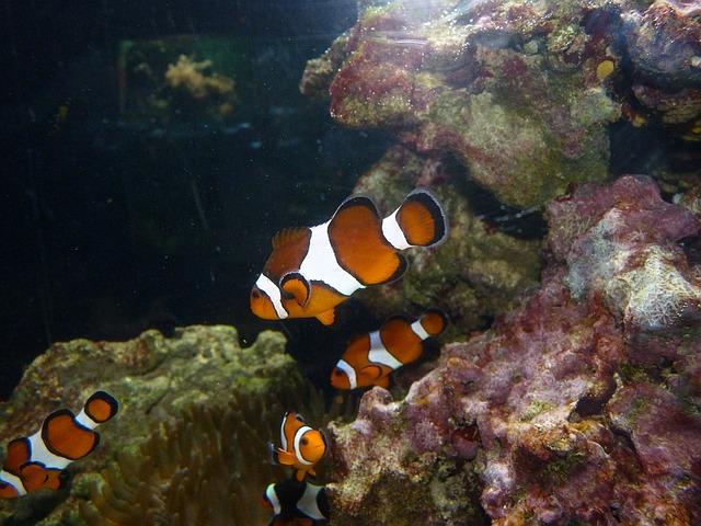 rybki błazenki